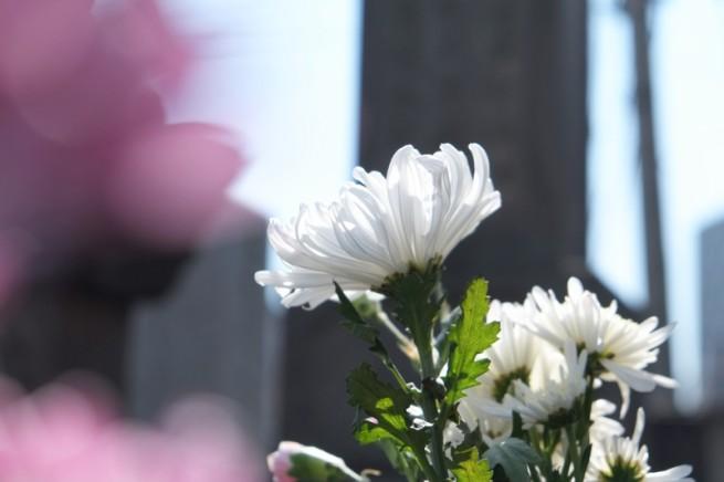 朝の墓地のお掃除より。 白い菊が太陽に向かって 凛として咲いていました。 ご先祖様に恥じないように今日を大切に生きようと思いました。